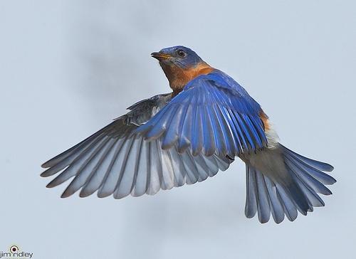 Eastern bluebird in flight - photo#15