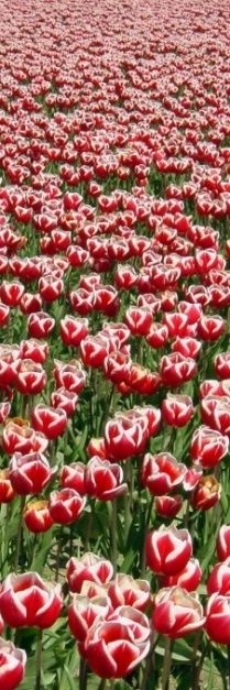 Beautiful red tulip field