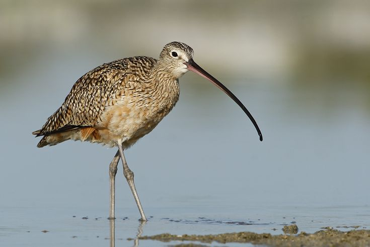 Long-billed Curlew (Florida, USA)