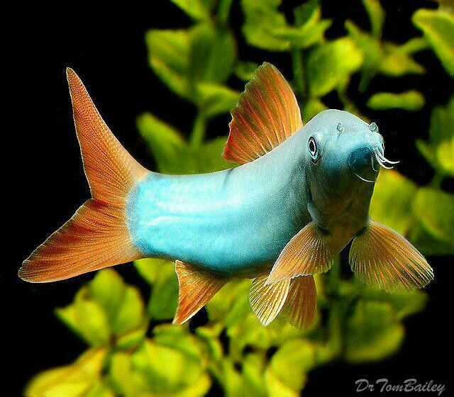 Blue loach fish pinterest for Blue freshwater fish