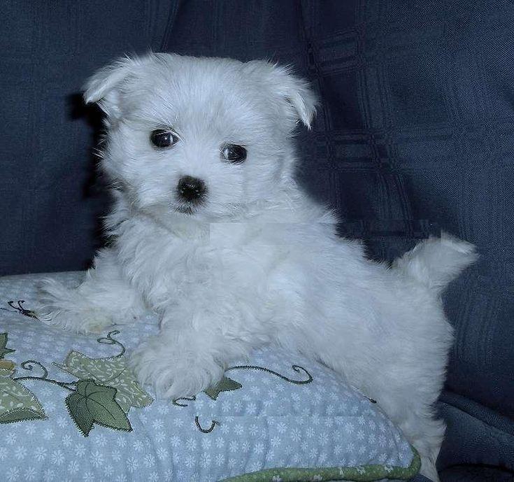 Maltese Puppies For Free | Maltese Puppies For Free Adoption; Image ...