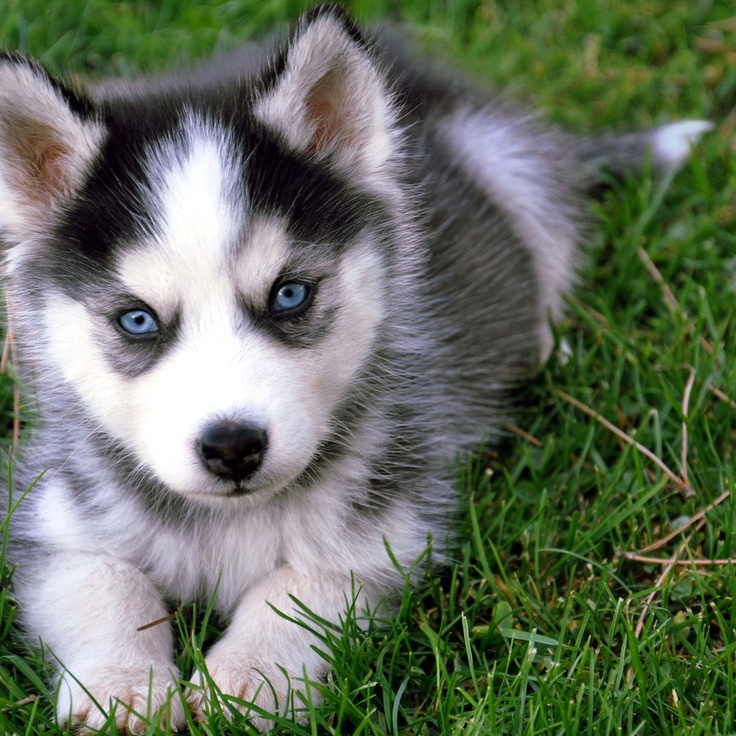 Pomsky With Blue Eyes Pomsky puppy with blue eyes. i will have this dog. forget the yorkshire