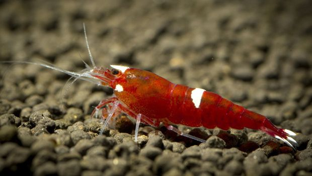 Crystal Bee Shrimp Invertebrates Freshwater Pinterest