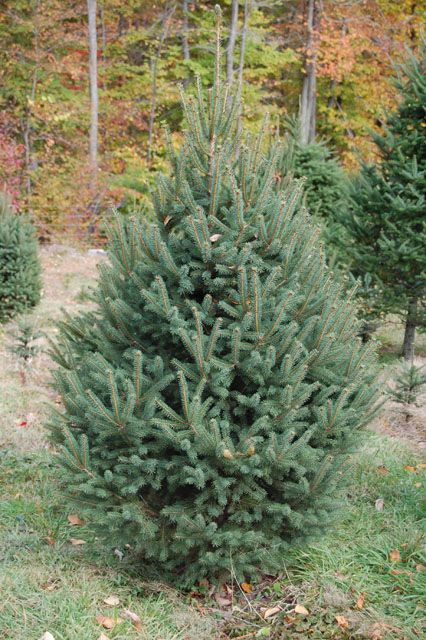 What Trees Are Christmas Trees