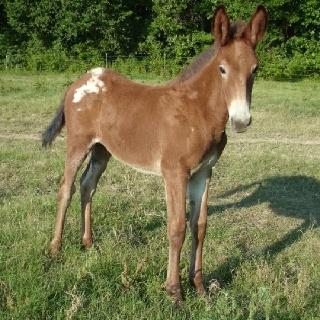 Baby mule mules pinterest