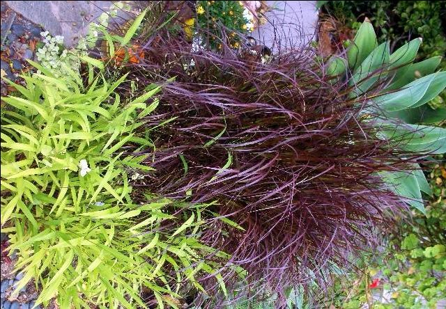 Ornamental grasses for the garden pinterest for Purple grasses for landscaping