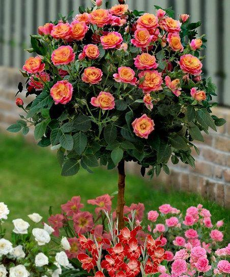 Red gold 36 39 39 rose tree gardening flowers pinterest for Garden rose trees