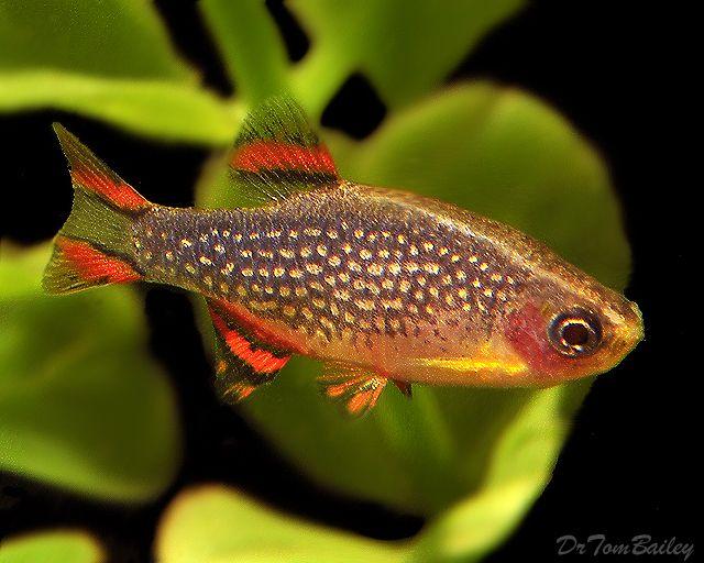 danios Animals: Pisces Pinterest
