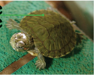 Proper Care of Turtles animals Pinterest