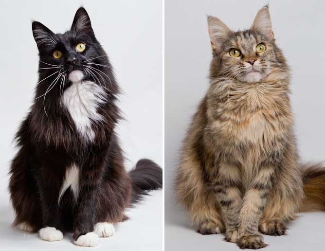 symptoms of heart disease in cats