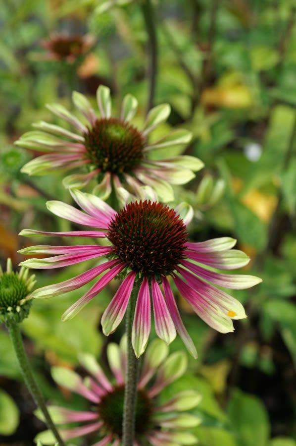 coneflower gardens flowers pinterest. Black Bedroom Furniture Sets. Home Design Ideas