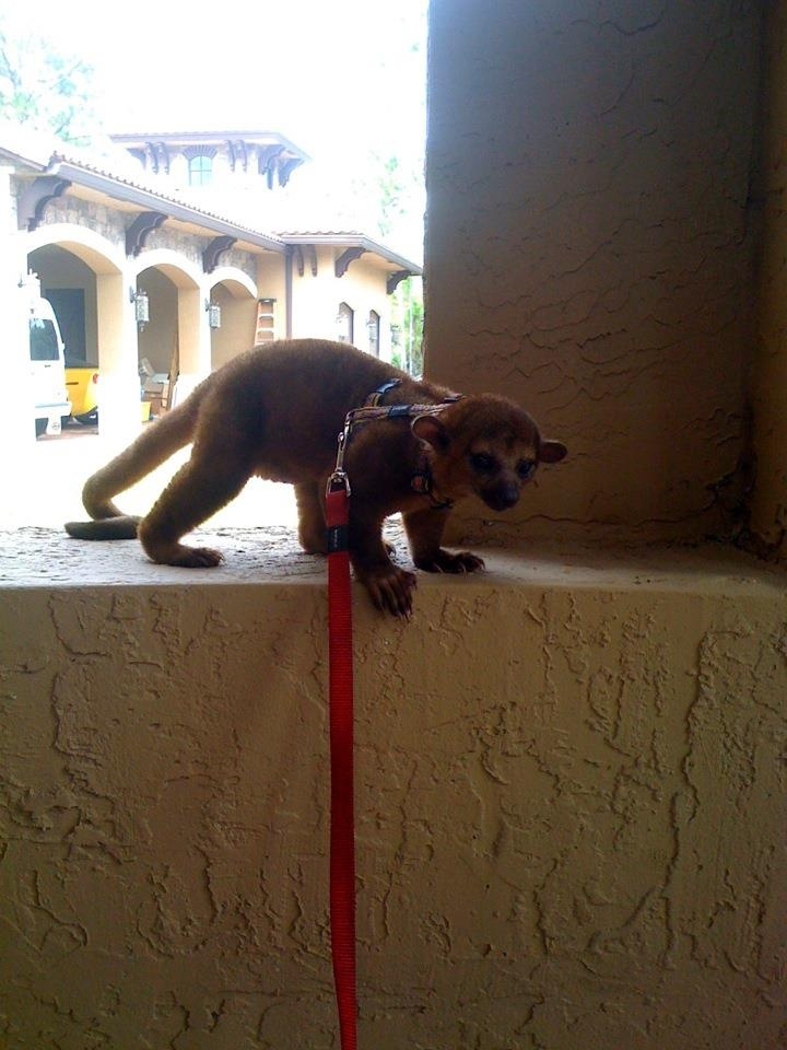 Yogi the Kinkajou | Animals | Pinterest