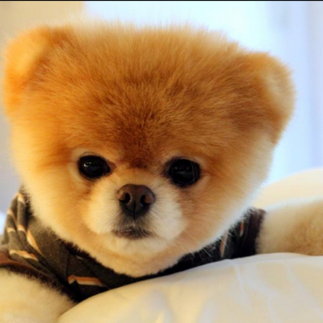 Boo the Pomeranian way too cute | BOO...beyond cuteness!