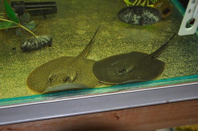 Amazing freshwater aquarium fish fishy pinterest for Freshwater aquarium fish for sale