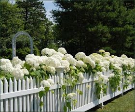 White hydrangeas and a white picket fence