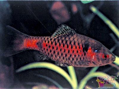 Odessa barb. Need dis. Fish Pinterest