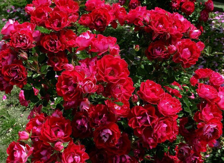 Large Garden Full Of Roses Pink Rose Flower Tumblr Google Search Flowers Red Pink Orange