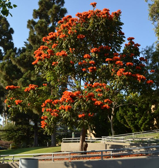 African tulip tree | World's most beautiful flowering ...