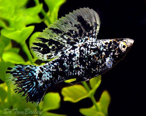 marble molly fish | Fresh Fish! | Pinterest | 480 x 384 jpeg 44kB