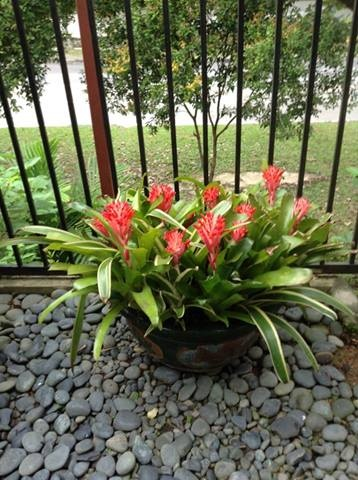 A bunch of billbergia