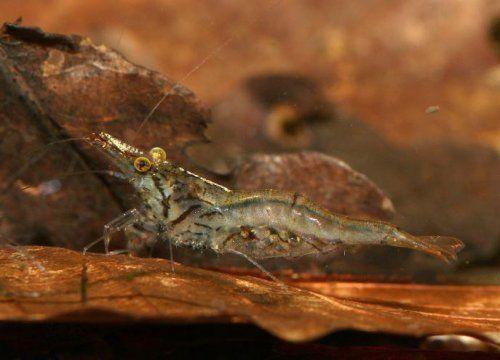 ... ?????? Sri Lanka Dwarf Shrimp - Caridina Simoni Simoni