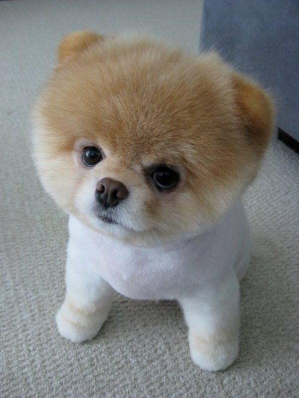 shaved-except-head Pomeranian