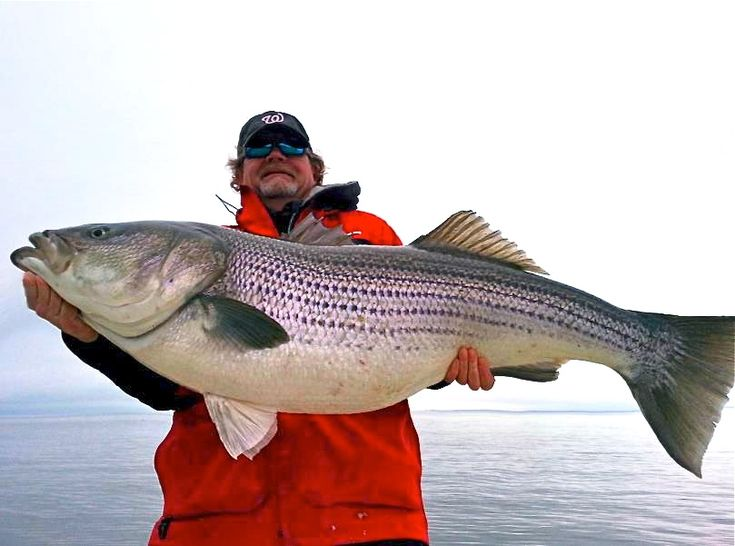 Striped sea bass striped bass pics pinterest for Bass fishing in maryland