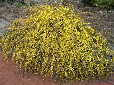 winter jasmine jasminum nudiflorum plant wish list pinterest. Black Bedroom Furniture Sets. Home Design Ideas