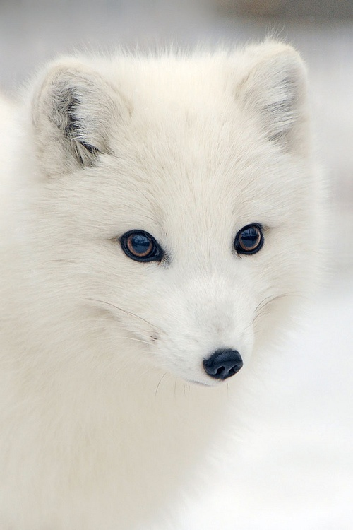 arctic fox cute white - photo #19