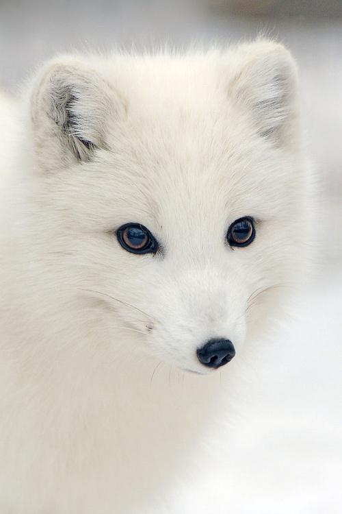 arctic fox cute white - photo #19