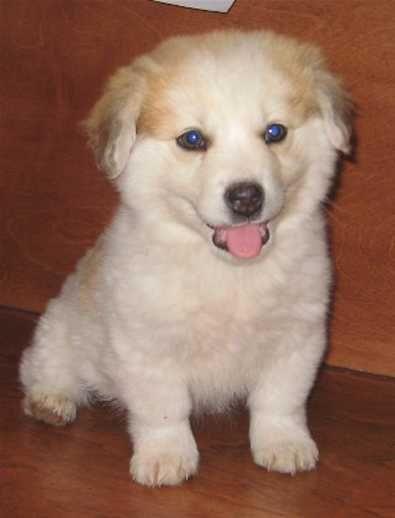 golden corgi husky mix | Dogs | Pinterest