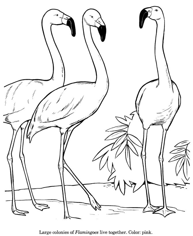 Line Drawings Of Wild Animals : Flamingo drawing and coloring page kinder activities