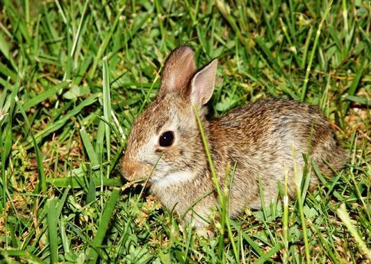 Wild Backyard Rabbits : Wild bunnies in my yard  Bunnies  Pinterest