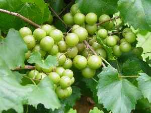 Recipe (and more) for muscadine grape jelly. -CAB