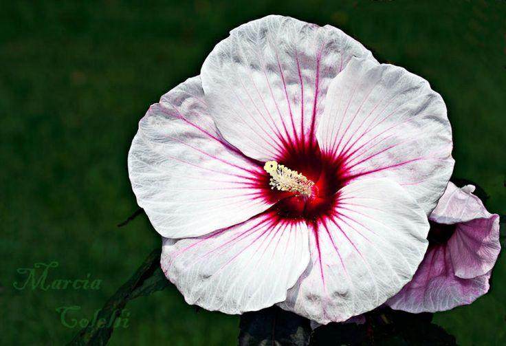 kopper king hibiscus only u pix collections pinterest. Black Bedroom Furniture Sets. Home Design Ideas