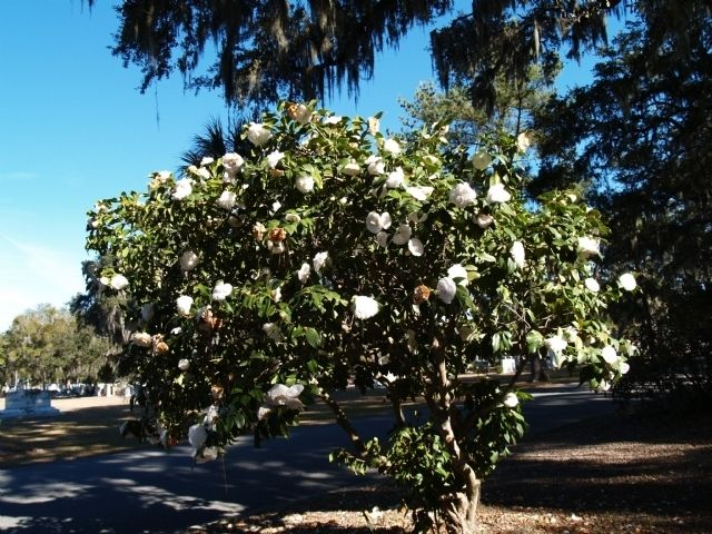 1800flowers azalea bonsai