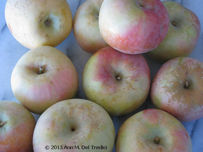 Apples ~ Apple ~ Fuji Apple in late August, 2013. Photo © 2013 Ann M. Del Tredici