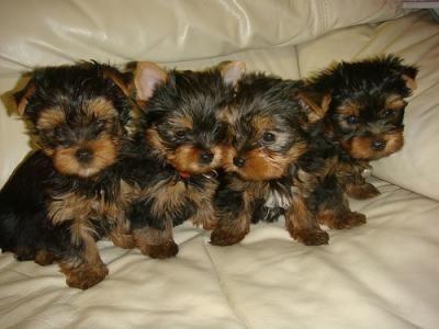 4 Little Yorkies Sittin' in a Row