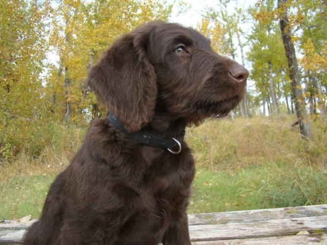 chocolate labradoodle puppy love pinterest