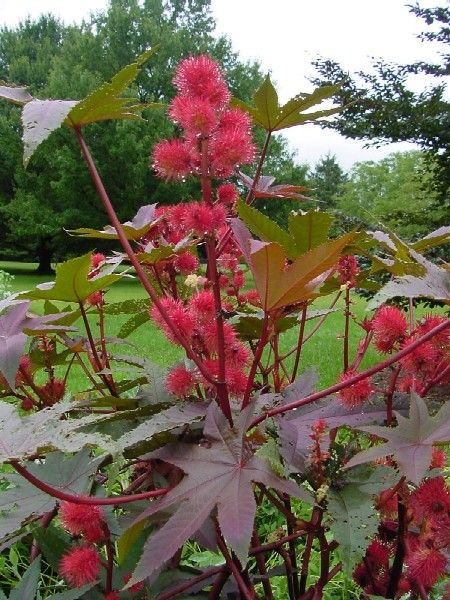 Castor bean plants i have pinterest for Garden plant information