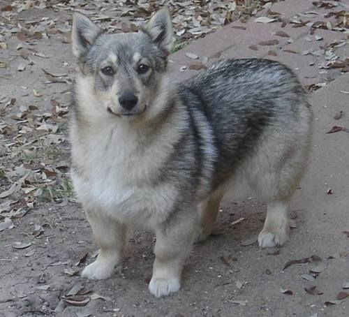 Swedish vallhund. Basically a corgi wolf.