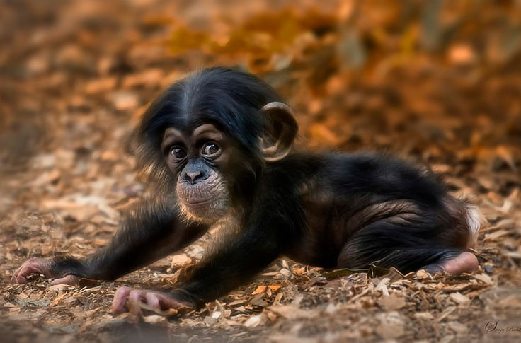 a cute little chimpanzee | animal shelter | Pinterest
