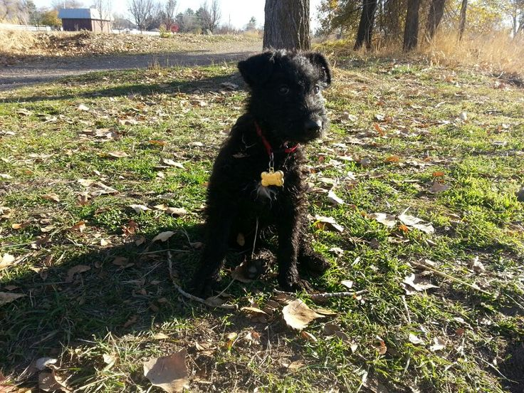 Black Airedale Puppy! | Airedale Terrier!! | Pinterest