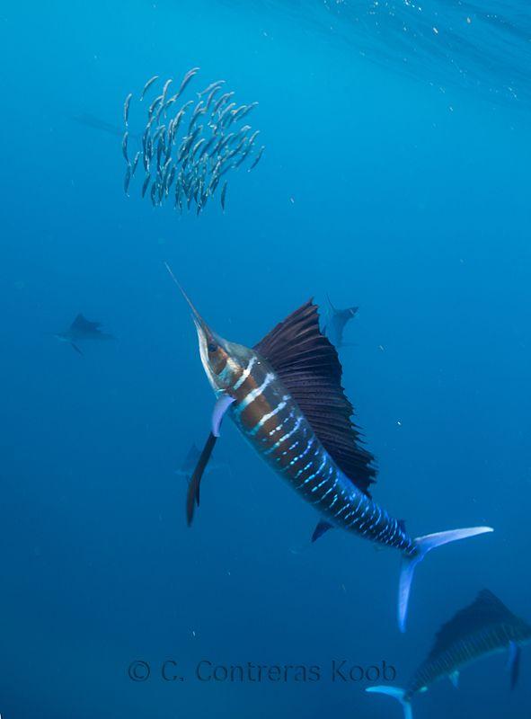 Swordfish Underwater Swordfish Underwater