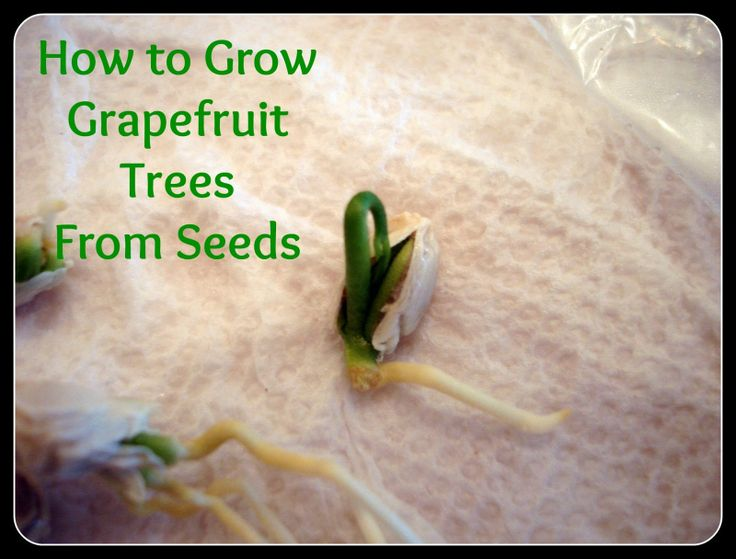 how to grow grapefruot tree from seed