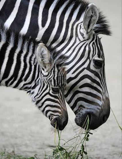 Zebra baby and mother - photo#10