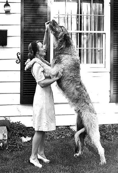 L'Irish Wolfhound 18d275b1f79073d17ff764cf783899ec