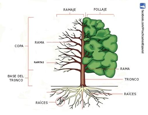 las partes del rbol vocabulario pinterest