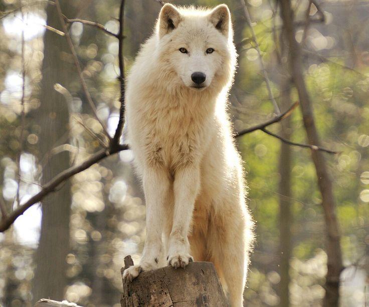 Pure white werewolf - photo#13