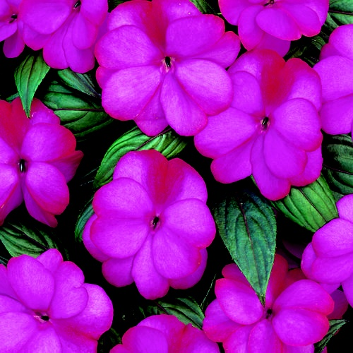 New guinea impatiens flowers i love color pinterest for New guinea impatiens